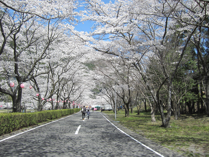 Shimokitayama sakura