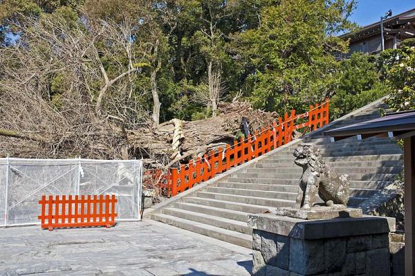 tsurugaoka-hachimangu-ginkgo