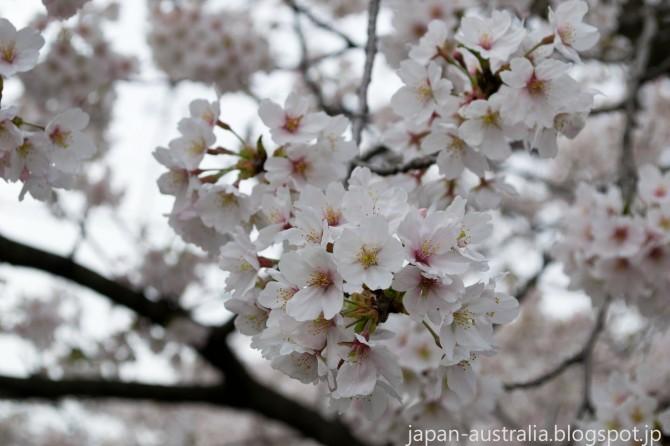 Beautiful Cherry Blossoms